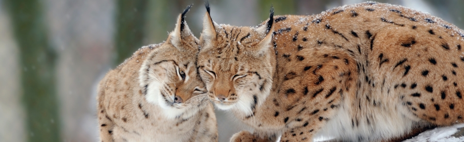 Can we save lynx in Poland?